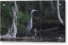 Juvenile Blue Heron At Manistee National Park Acrylic Print by Rosemarie E Seppala