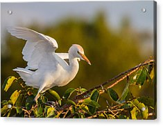 Juvenile Cattle Egret Acrylic Print by Andres Leon
