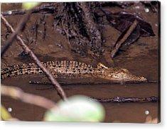 Juvenile Crocodile Acrylic Print
