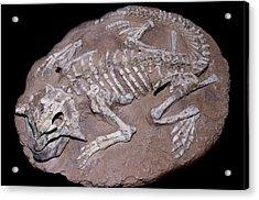 Juvenile Dinosaur Skeleton Acrylic Print by Sinclair Stammers