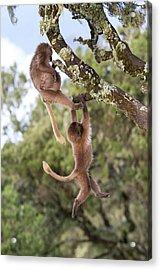 Juvenile Gelada Baboons At Play Acrylic Print by Peter J. Raymond