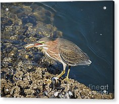 Acrylic Print featuring the photograph Juvenile Green Heron by Gayle Swigart