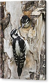 Juvenile Hairy Woodpecker Is Fed Acrylic Print by Ray Bulson