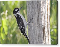 Juvenile Hairy Woodpecker Acrylic Print by Linda Freshwaters Arndt