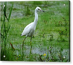 Juvenile Little Blue Heron In Search Of Food Acrylic Print