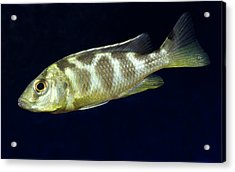 Juvenile Livingston's Cichlid Acrylic Print by Nigel Downer