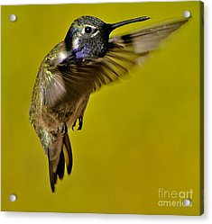 Acrylic Print featuring the photograph Juvenile Male Allen Hummingbird In Flight Ready To Land by Jay Milo