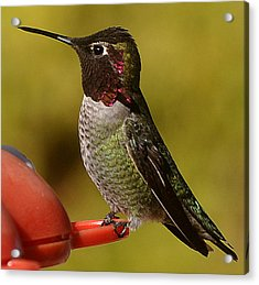 Acrylic Print featuring the photograph Juvenile Male Anna by Jay Milo