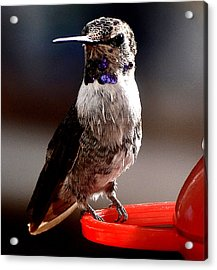 Acrylic Print featuring the photograph Juvenile Male Anna On Perch by Jay Milo