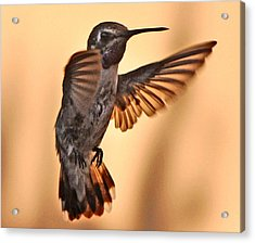 Juvenile Male Anna's In Flight Acrylic Print by Jay Milo