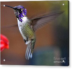 Acrylic Print featuring the photograph Juvenile Male Costa by Jay Milo