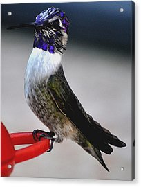 Acrylic Print featuring the photograph Juvenile Male Costa On Perch Posing by Jay Milo
