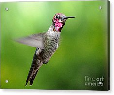 Acrylic Print featuring the photograph Juvenile Male Anna's In Flight by Jay Milo