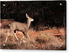 Juvenile Mule Deer Running In Boynton Acrylic Print