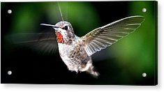 Juvenile Red Thoated Hummingbird Acrylic Print by Jay Milo
