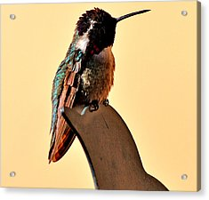 Acrylic Print featuring the photograph Juvenile Rufus Hummingbird Sitting It Out by Jay Milo