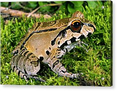 Juvenile Smoky Jungle Frog Acrylic Print by Dr Morley Read