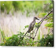 Juvenile Yellow Crowned Night Heron Acrylic Print by Zoe Ferrie