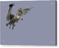 Juvenille Herring Gull Acrylic Print by Andy Astbury