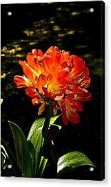 Kafir Lily Acrylic Print