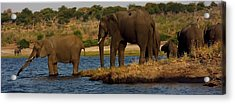 Acrylic Print featuring the photograph Kalahari Elephants Preparing To Cross Chobe River by Amanda Stadther
