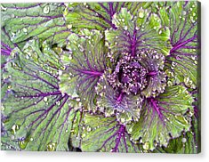 Kale Plant In The Rain Acrylic Print
