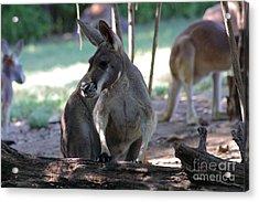 Kangaroo-2 Acrylic Print by Gary Gingrich Galleries