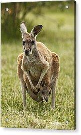Kangaroo And Joey Acrylic Print