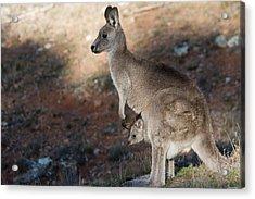 Kangaroo And Joey Acrylic Print by Steven Ralser
