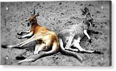 Kangaroo Heart Acrylic Print by Andrew Connolly