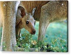 Kangaroo Joey Acrylic Print by Mark Newman