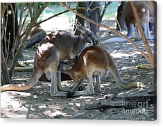 Kangaroo Nurse-6 Acrylic Print by Gary Gingrich Galleries