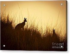 Kangaroo Silhouettes Acrylic Print by Tim Hester