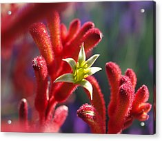 Kangaroo Star Acrylic Print by Evelyn Tambour