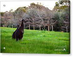 Kangaroos Together Acrylic Print