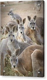 Kangaroos Waga Waga Australia Acrylic Print by Jim Julien