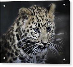 Acrylic Print featuring the photograph Kanika - Amur Leopard Portrait by Chris Boulton