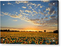 Kansas Sunflowers At Sunset Acrylic Print