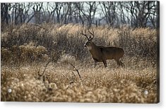 Kansas Whitetail Acrylic Print