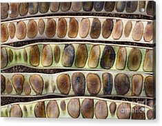 Kassod Tree Seed Pods Pattern Acrylic Print by Tim Gainey
