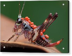 Katydid Covered With Mites Acrylic Print by Melvyn Yeo