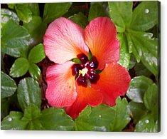 Kauai Flower Acrylic Print