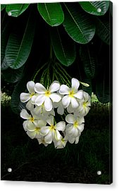 Kawela Plumeria Acrylic Print by James Temple