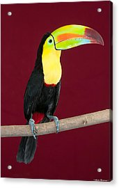Acrylic Print featuring the photograph Keel-billed Toucan 4 by Avian Resources