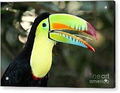 Keel Billed Toucan Acrylic Print