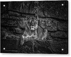 Keen Eyed Lioness Acrylic Print