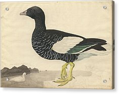 Kelp Goose Acrylic Print