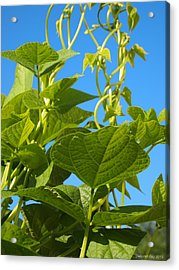 Acrylic Print featuring the photograph Kentucky Pole Beans by Deborah Fay