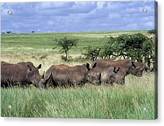 Kenya Africa Lewa Downs Herd Of White Acrylic Print
