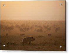 Kenya, Hyena With Cubs At Dawn In Ol Acrylic Print by Ian Cumming